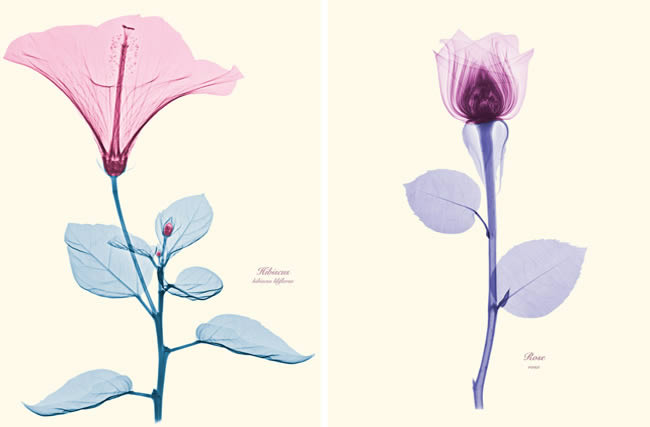 Floral X-Rays