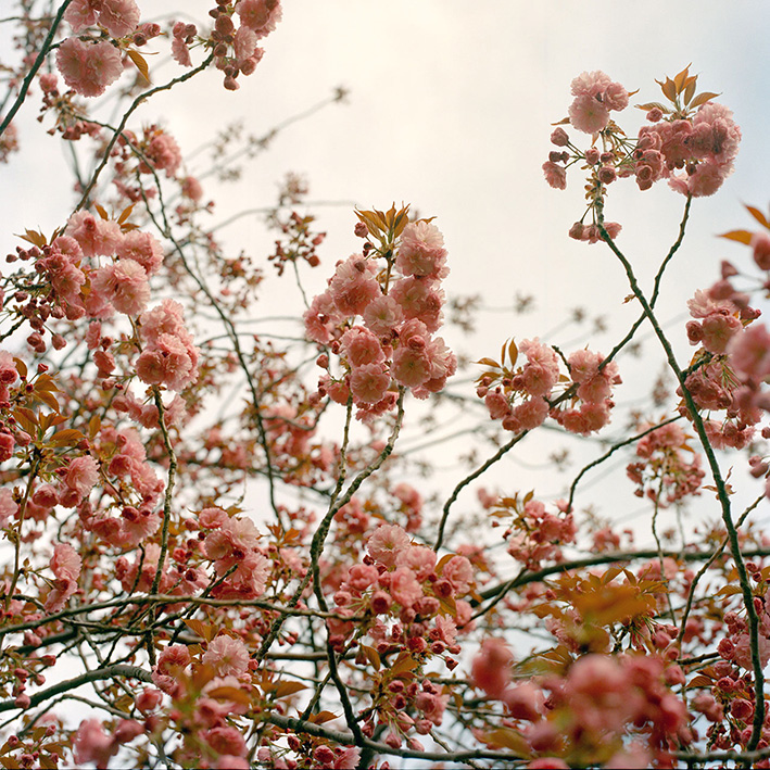 Blossoms in New York